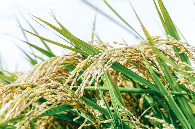 収穫前の首を垂れる程に実った稲穂の写真