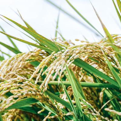 「収穫前の首を垂れる程に実った稲穂」の写真素材