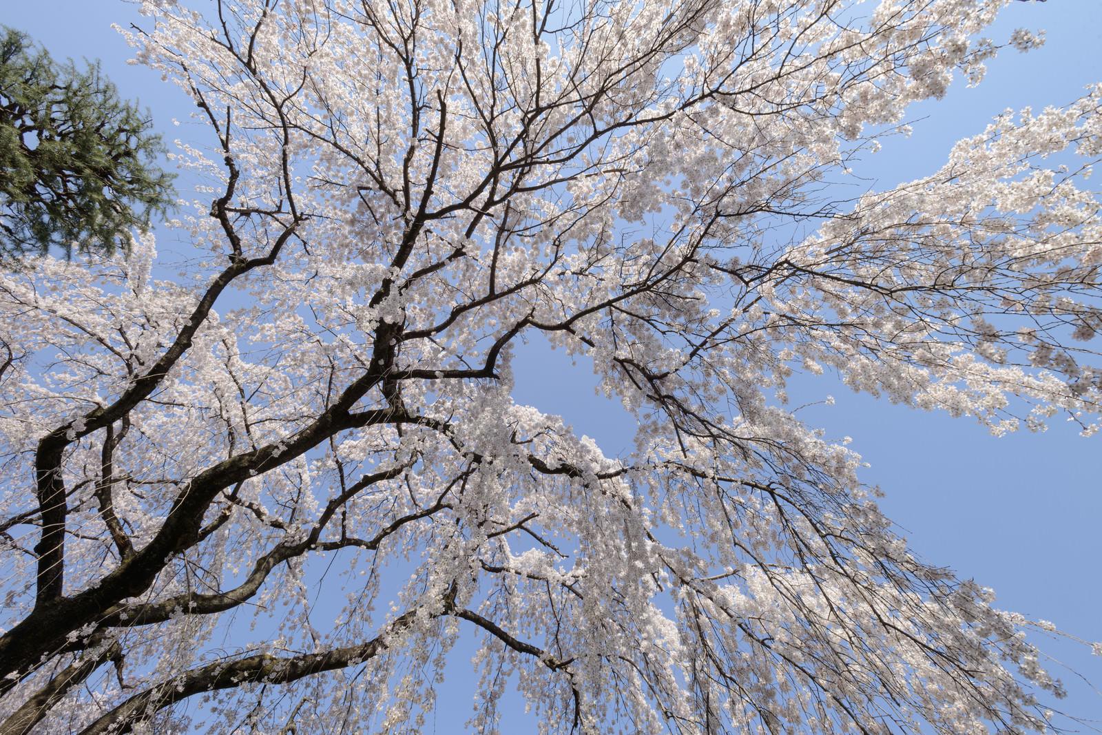 「見上げた空と桜(川越大師)」の写真