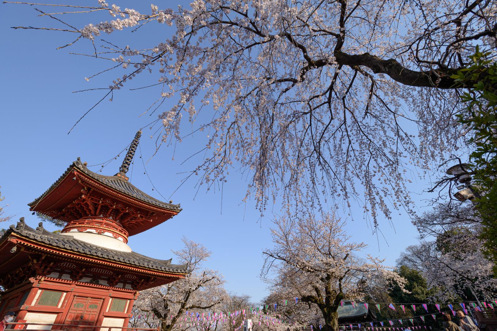 「境内の木造塔と桜(川越大師 喜多院)」の写真