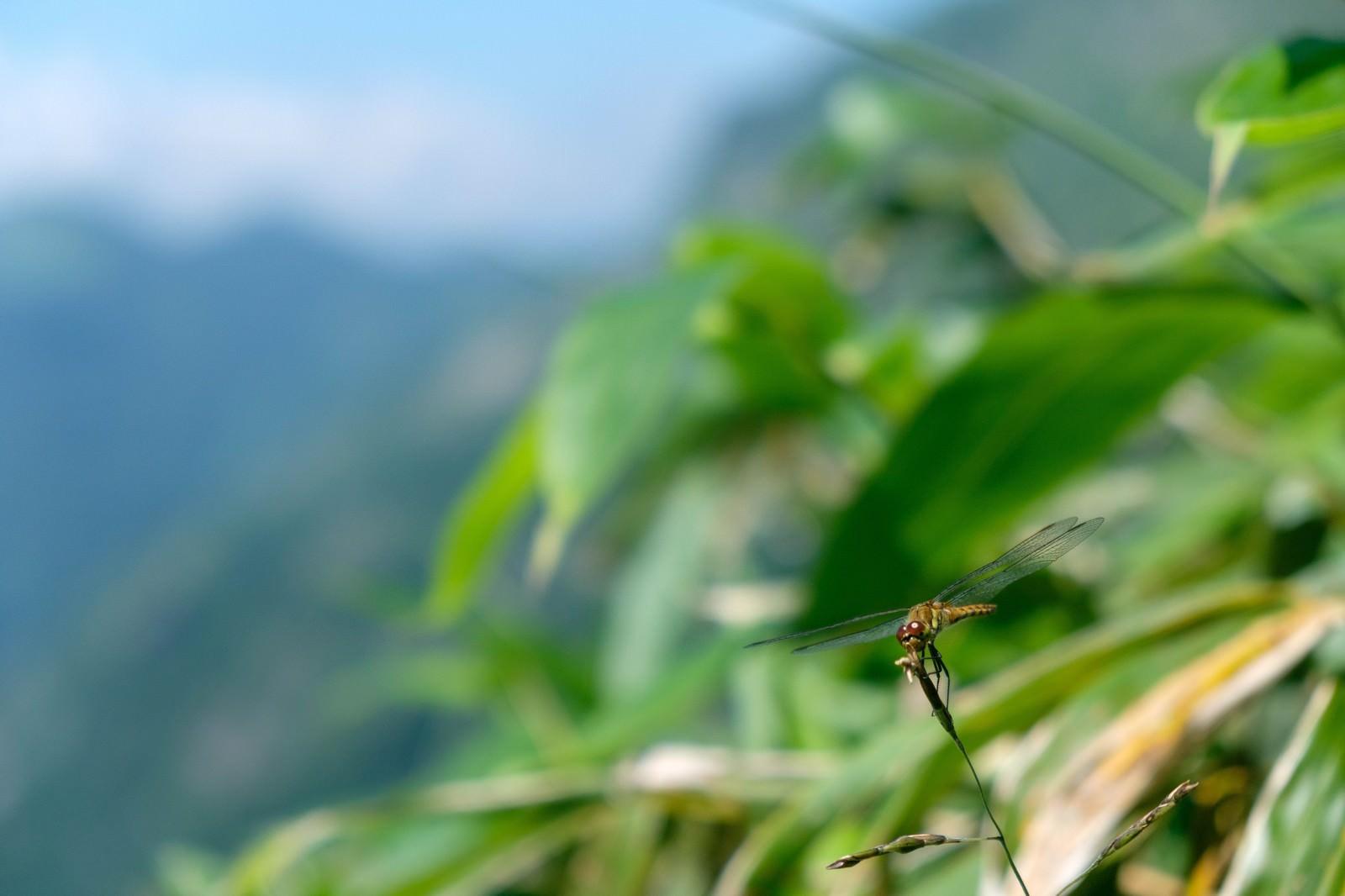 「葉に捕まるトンボ」の写真