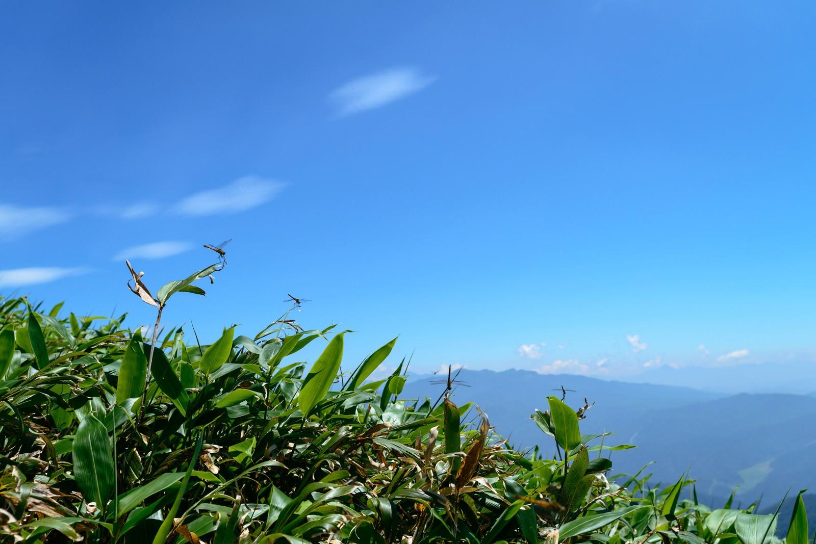 「クマザサで休むトンボと青空」の写真