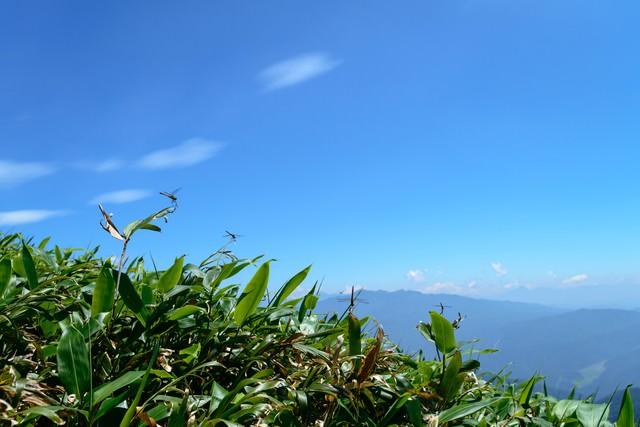 クマザサで休むトンボと青空の写真