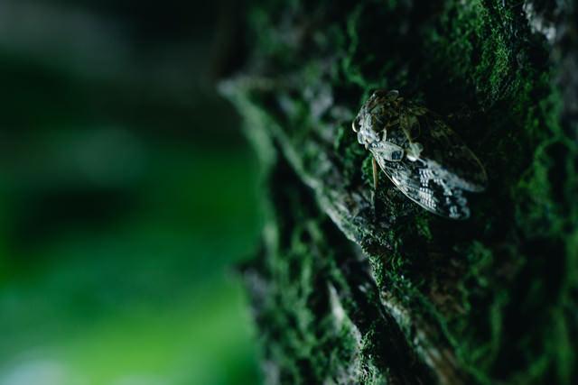 木にしがみつく蝉の写真