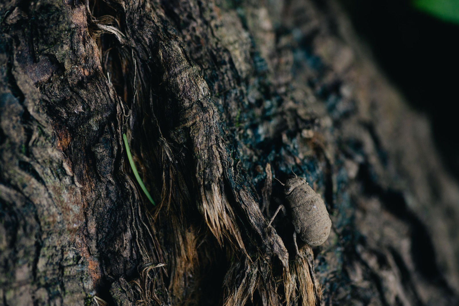「土中で約3年間すごして地上に出てきたばかりのニイニイゼミ」の写真