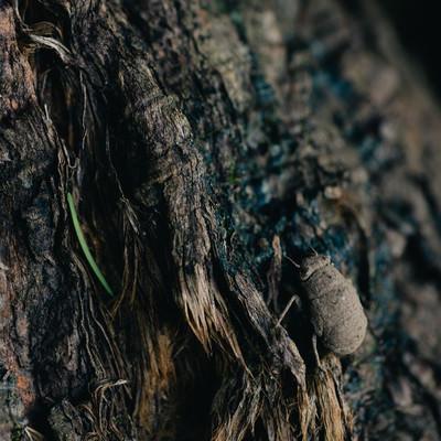 土中で約3年間すごして地上に出てきたばかりのニイニイゼミの写真