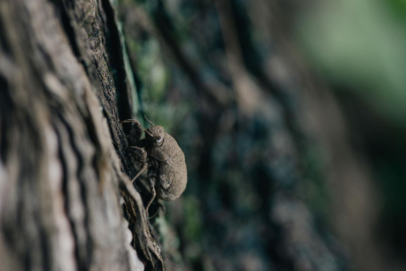 「全身に泥をかぶったニイニイゼミの幼虫」の写真
