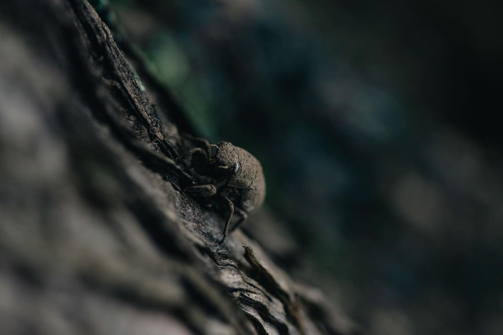 「地上から這い上がり木に捕まる蝉の幼虫」の写真
