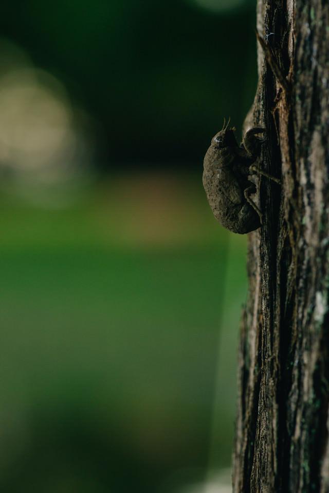 全身に泥をかぶった羽化前のニイニイゼミの幼虫の写真