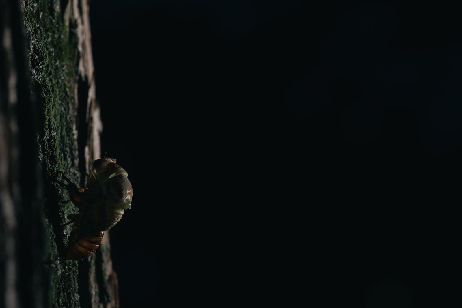 「暗闇の中、羽化をはじめるニイニイゼミの幼虫」の写真