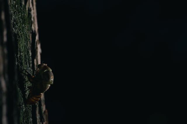 暗闇の中、羽化をはじめるニイニイゼミの幼虫の写真