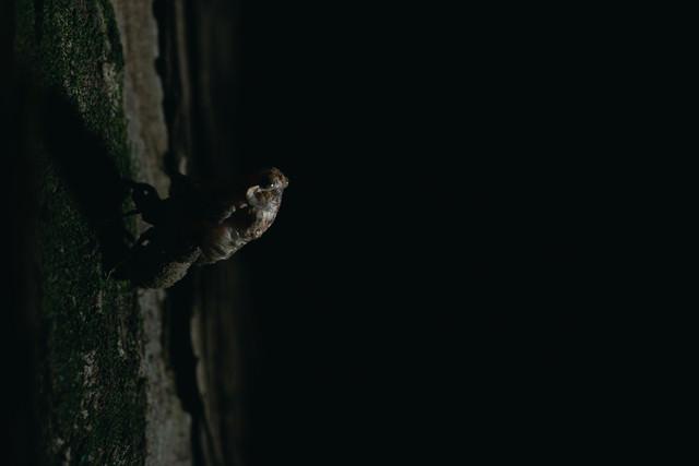 木にしっかりつかまり羽化を始める蝉の写真