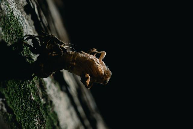 脱皮中(羽化)のニイニイゼミの写真