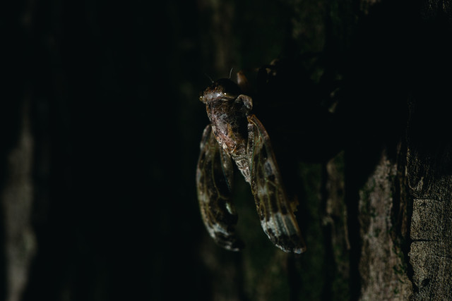 蝉(ニイニイゼミ)の羽化の様子の写真