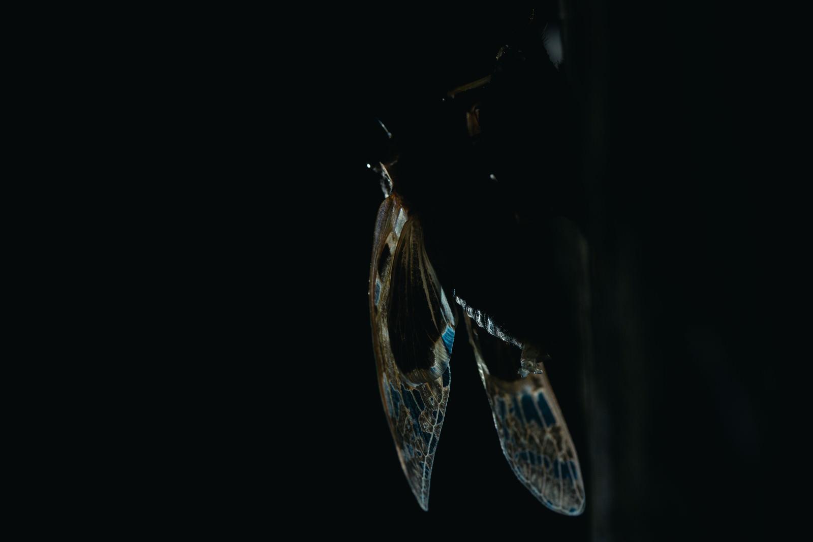 「羽化したばかりの蝉の羽」の写真