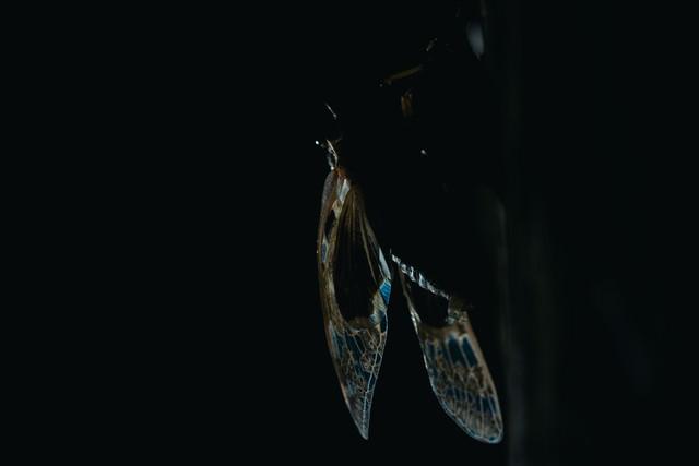 羽化したばかりの蝉の羽の写真