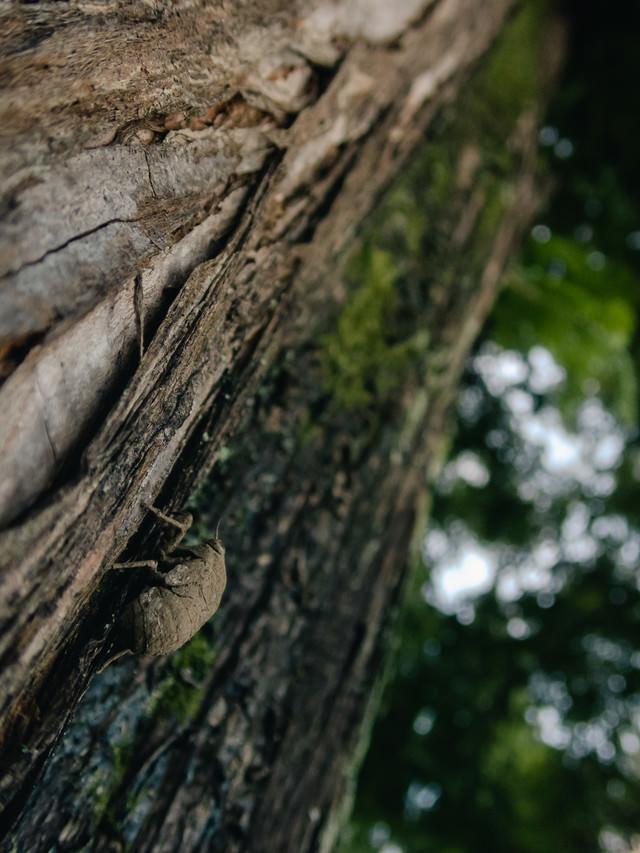 巨木を登る蝉の幼虫の写真