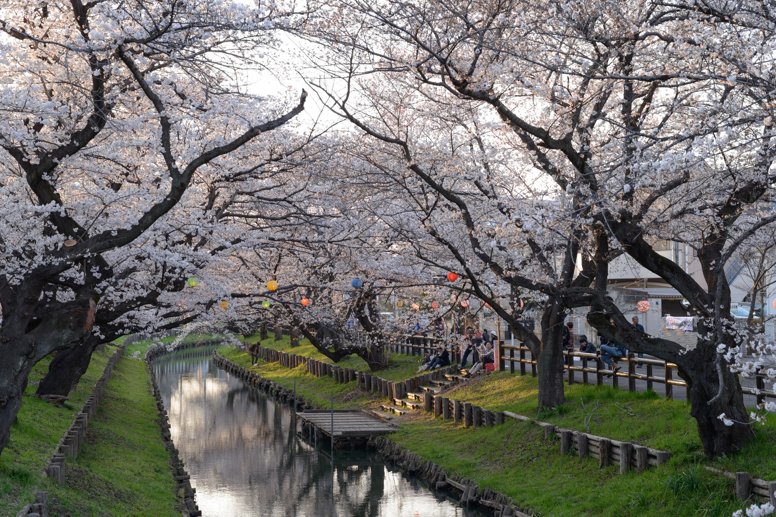 「新河岸川の桜並木(埼玉県川越市氷川町)」の写真