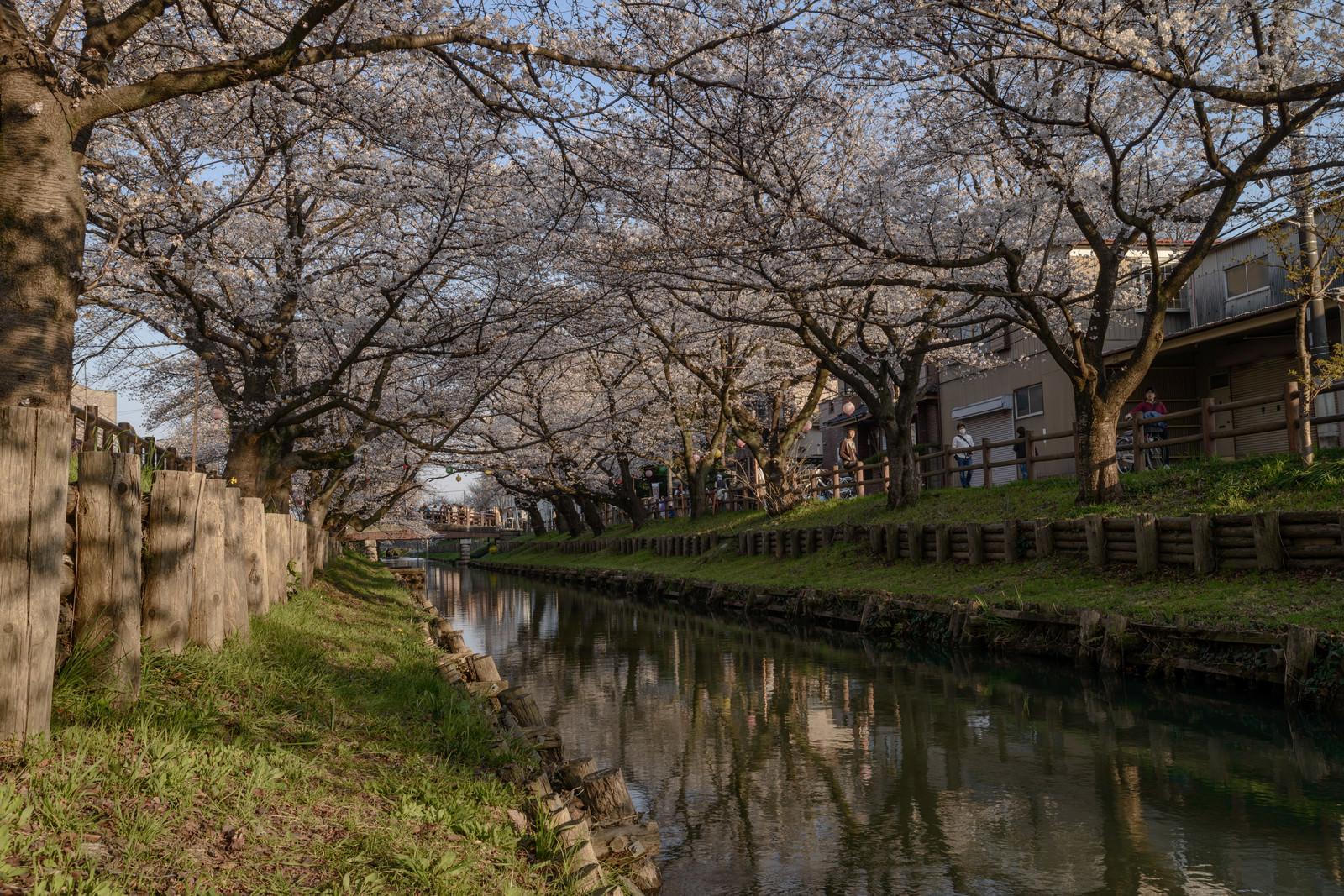 「新河岸川を覆う桜並木(埼玉県川越市氷川町)」の写真