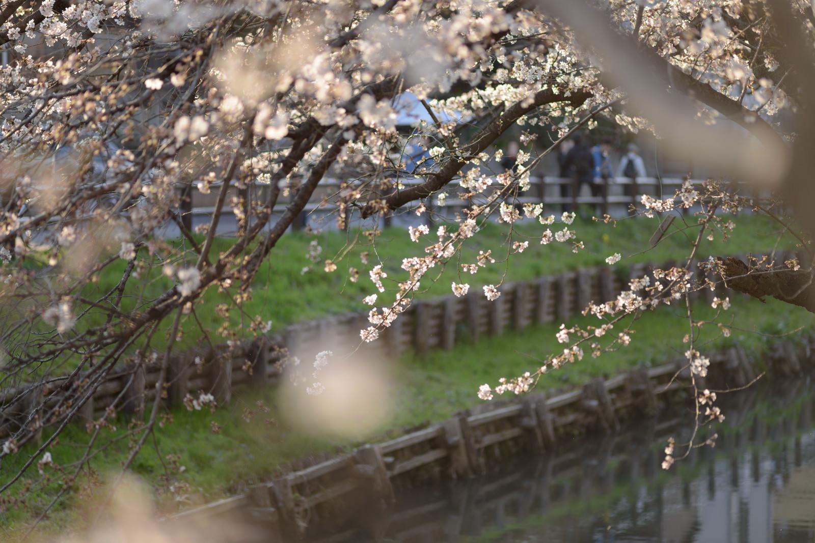 「新河岸川と桜(埼玉県川越市氷川町)」の写真