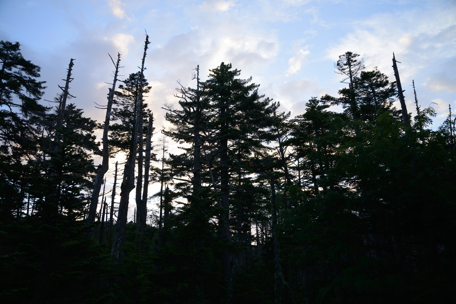 「森の中の立ち枯れの木々(白駒湿原)」の写真