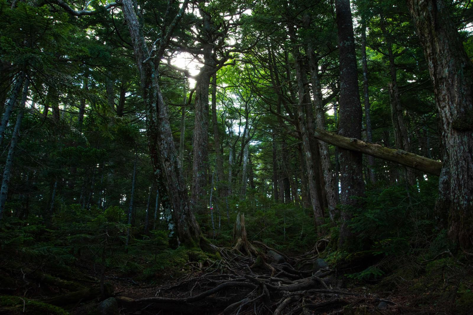 「地面に張り巡る木々の根(白駒の森)」の写真