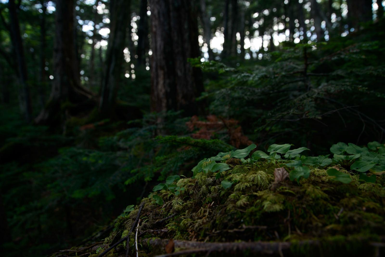 「苔と共存する植物(白駒の森)」の写真