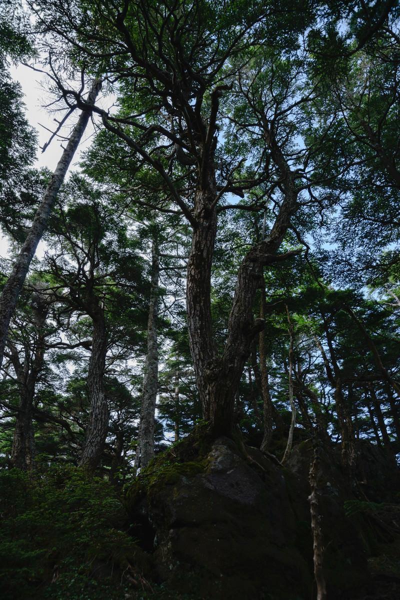 「岩から伸びる木々(白駒の森)」の写真