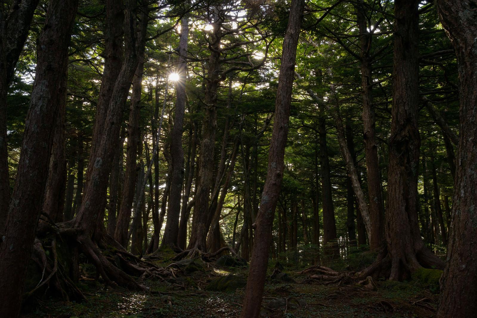 「光射す白駒の森」の写真