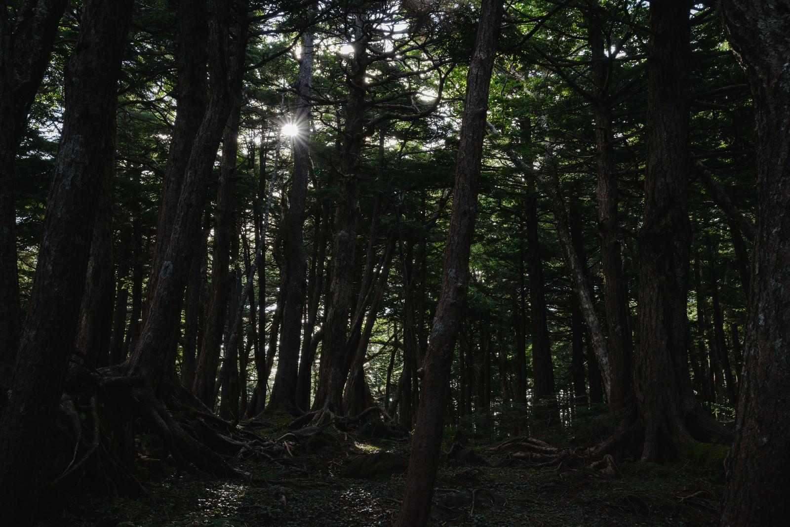 「白駒の森に射す光」の写真