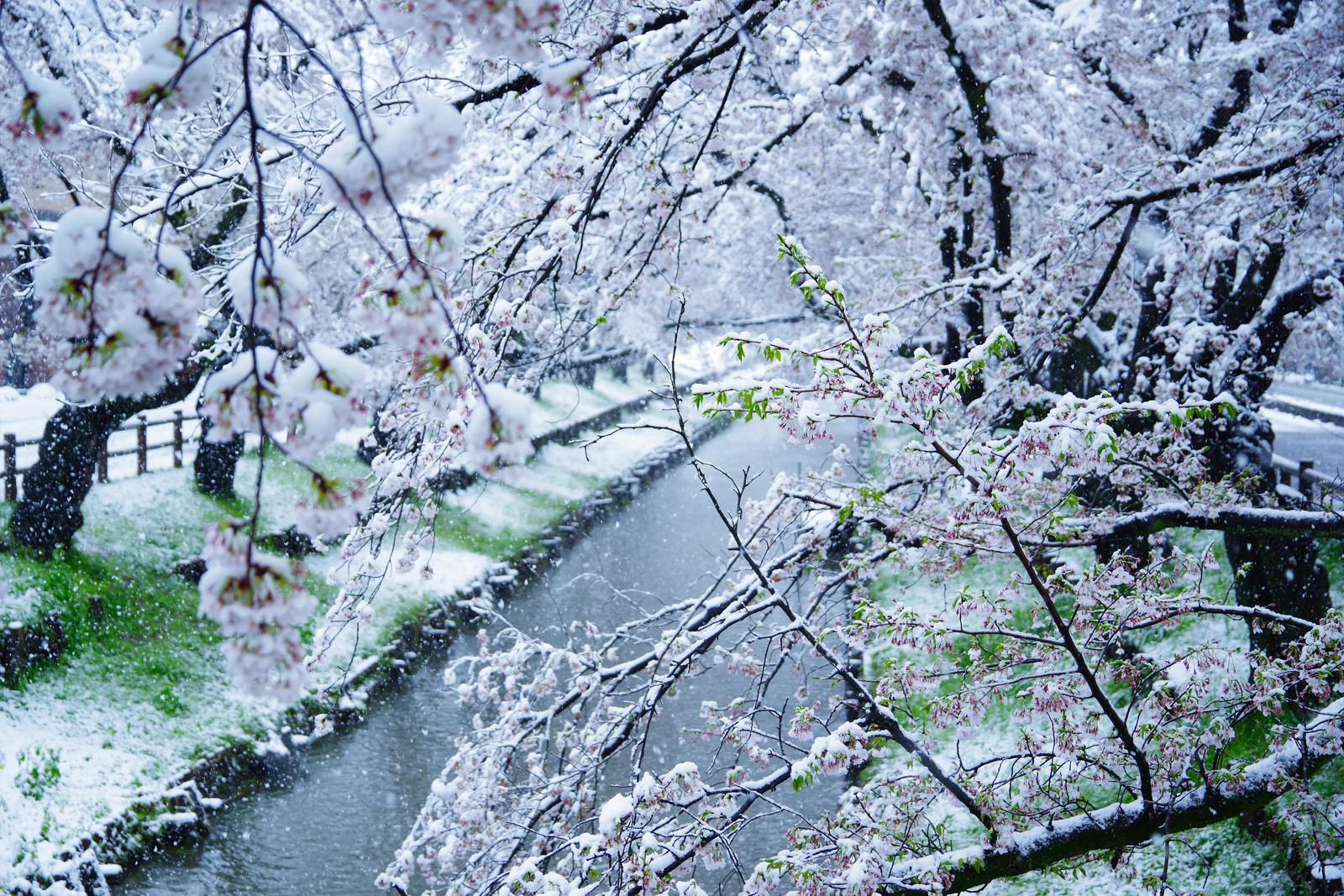「開花する桜と積雪のコラボ」の写真