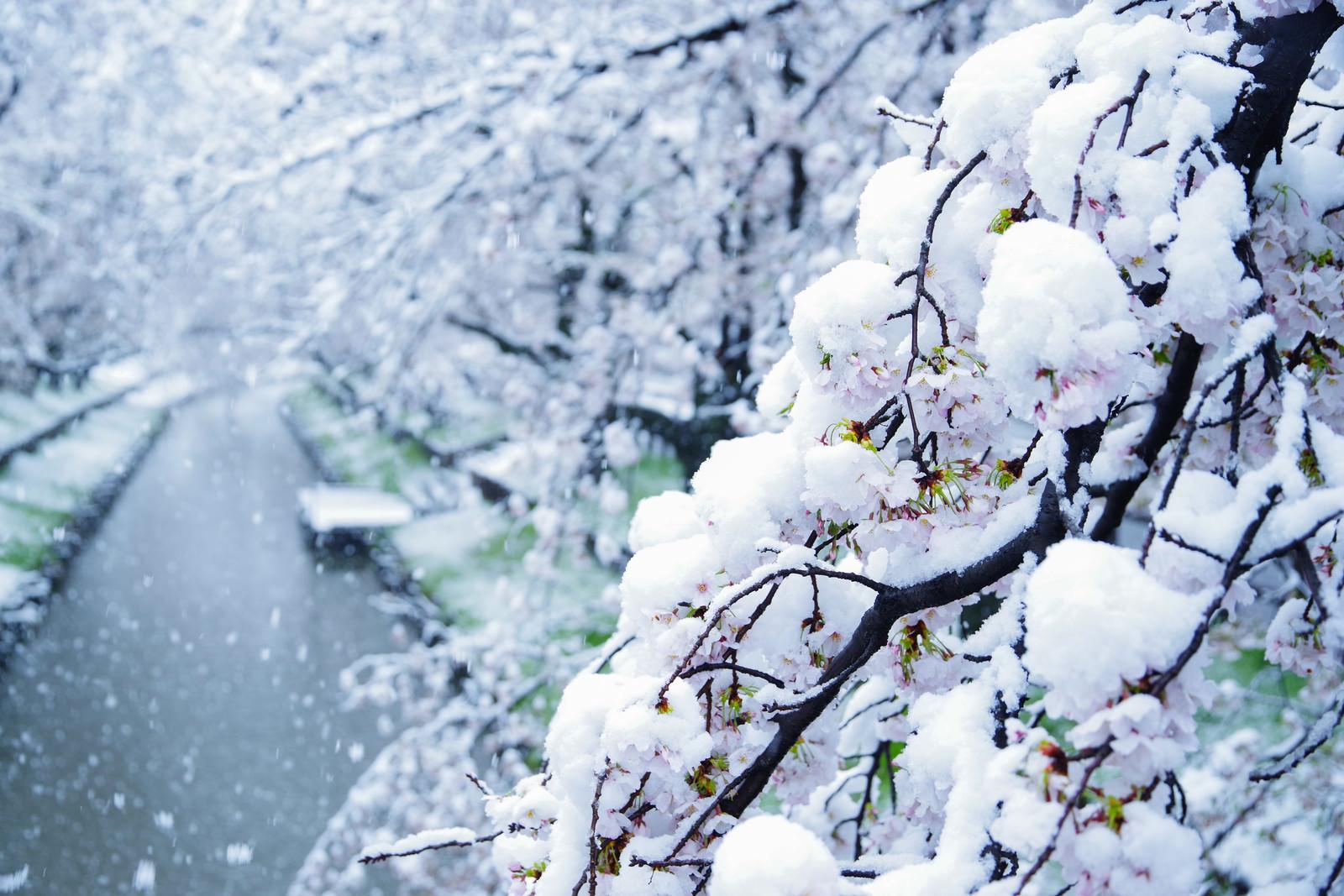 「桜と降り積もる雪」の写真