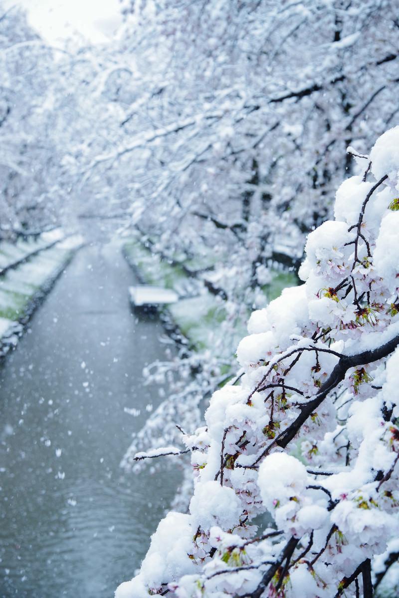 「雪桜満開」の写真