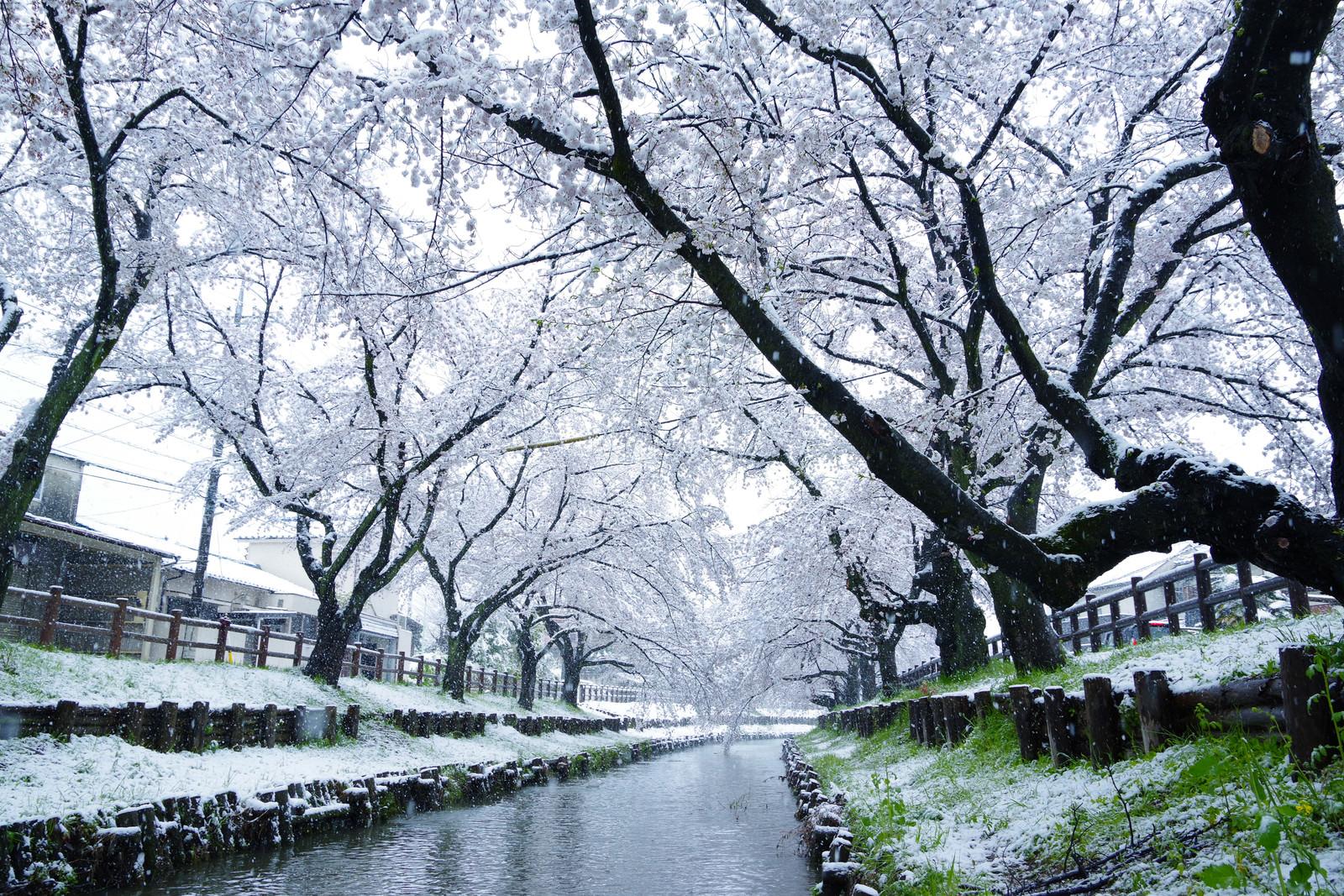 「桜満開の時期に雪が積もる」の写真