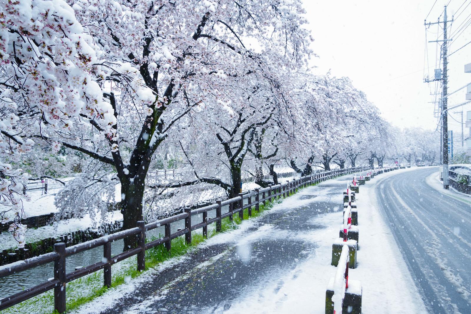 「積雪と桜並木」の写真