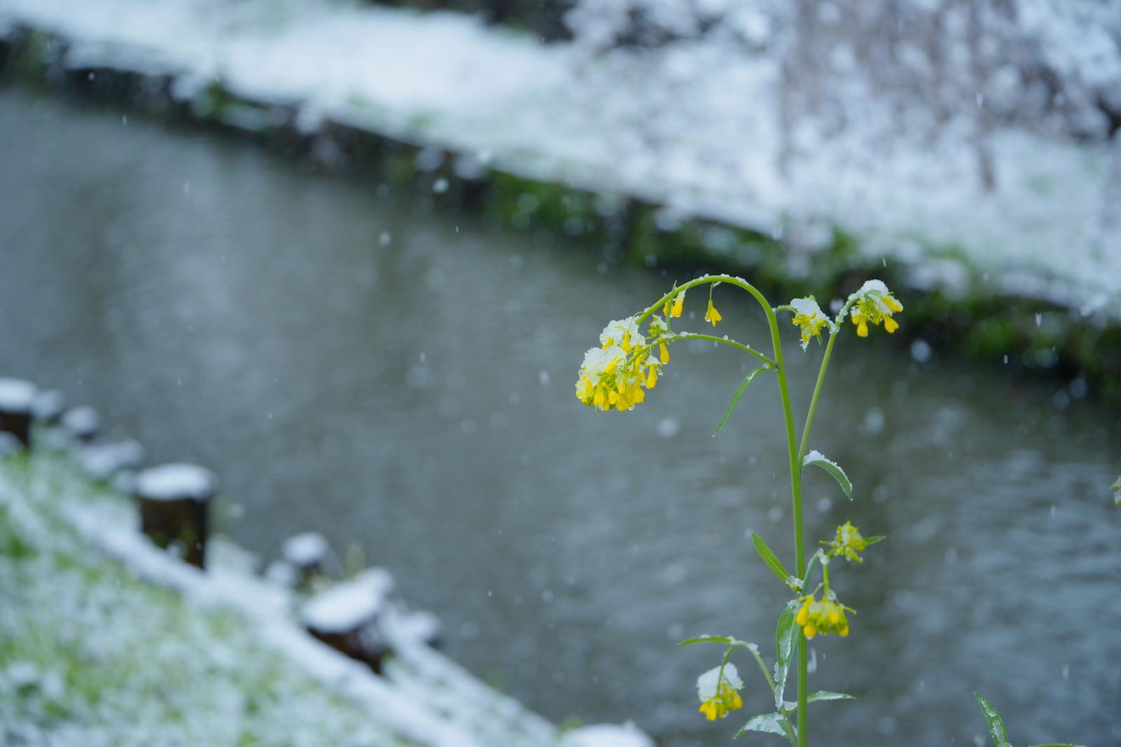 「降雪で菜の花も寒そう」の写真