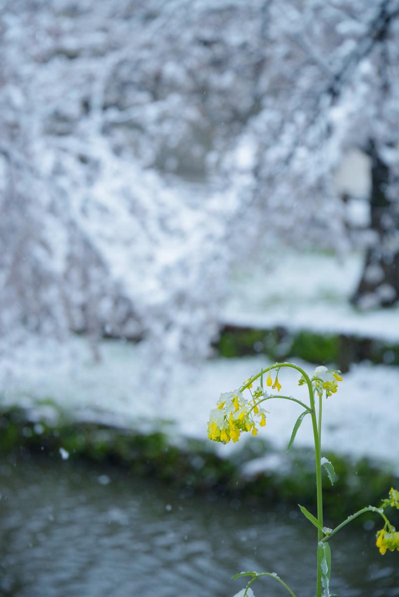「雪の重みでおじぎする菜の花」の写真