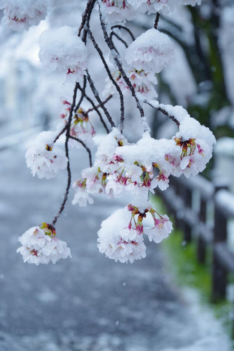 「桜の花にこんもりと雪が積もる」の写真
