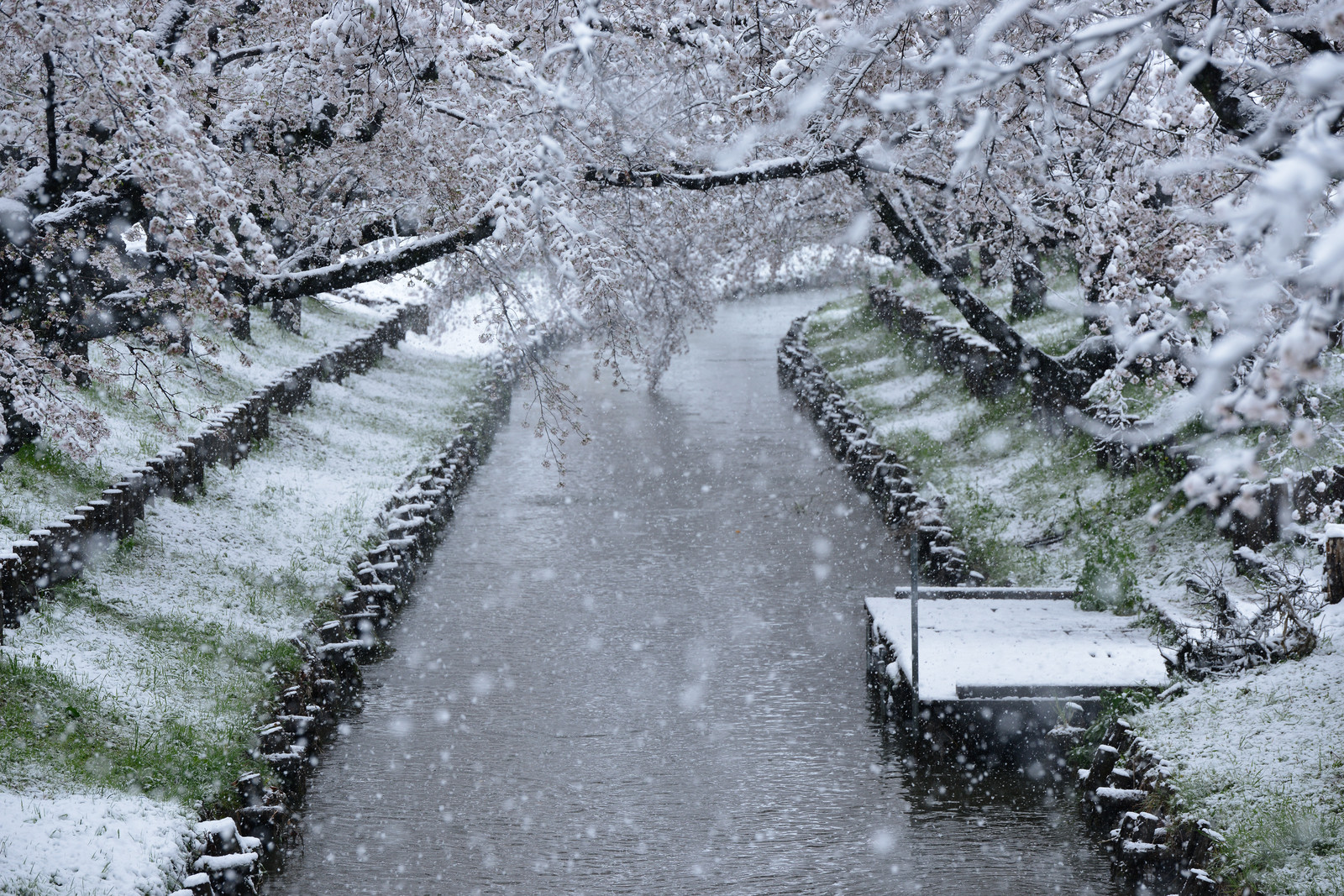 「舞い散る雪と桜と桟橋」の写真