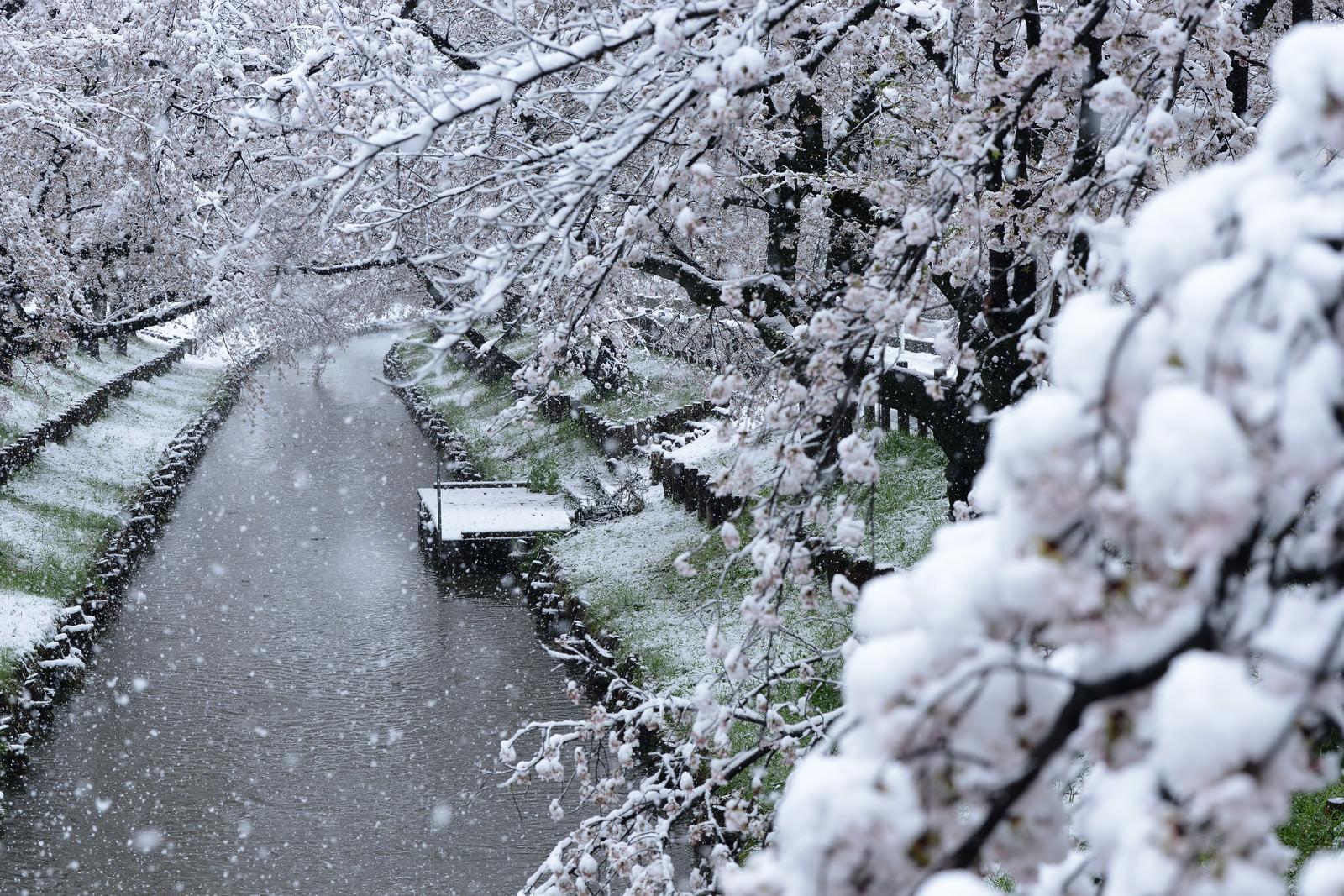 「桜満開の花見の時期に積雪」の写真