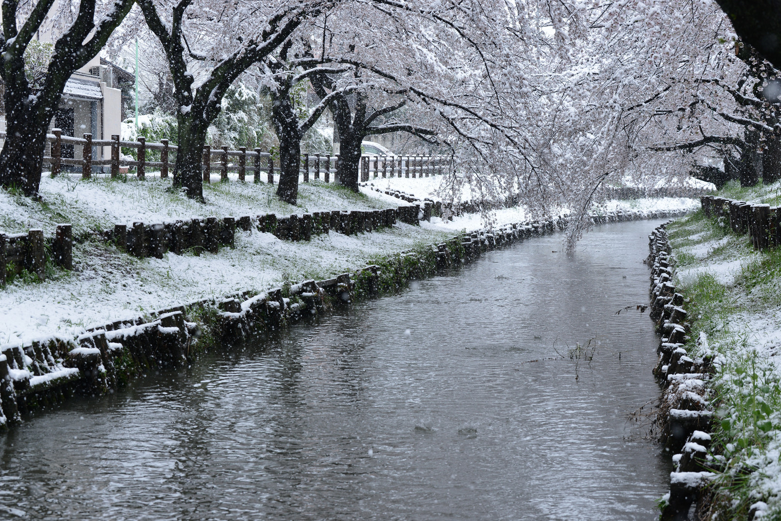 「桜咲く頃に雪が降る」の写真