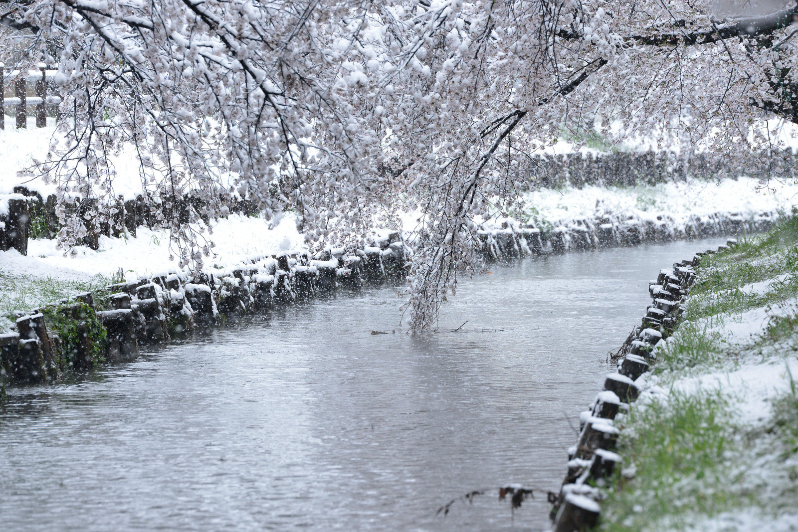 「積雪の河川敷と満開の桜の様子」の写真