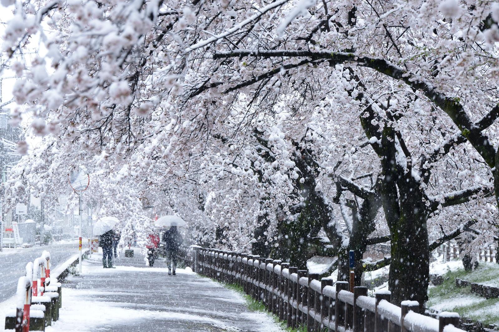 「雪と桜並木」の写真