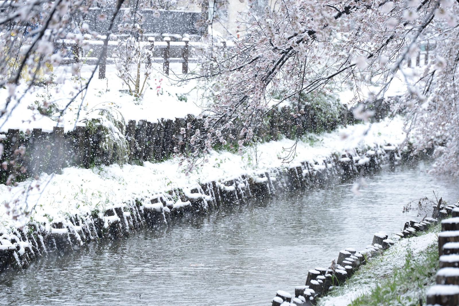 「白く染まる河川敷と桜」の写真