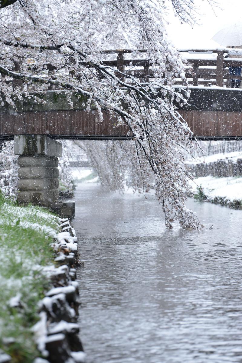 「河川敷の桜に積もる雪」の写真