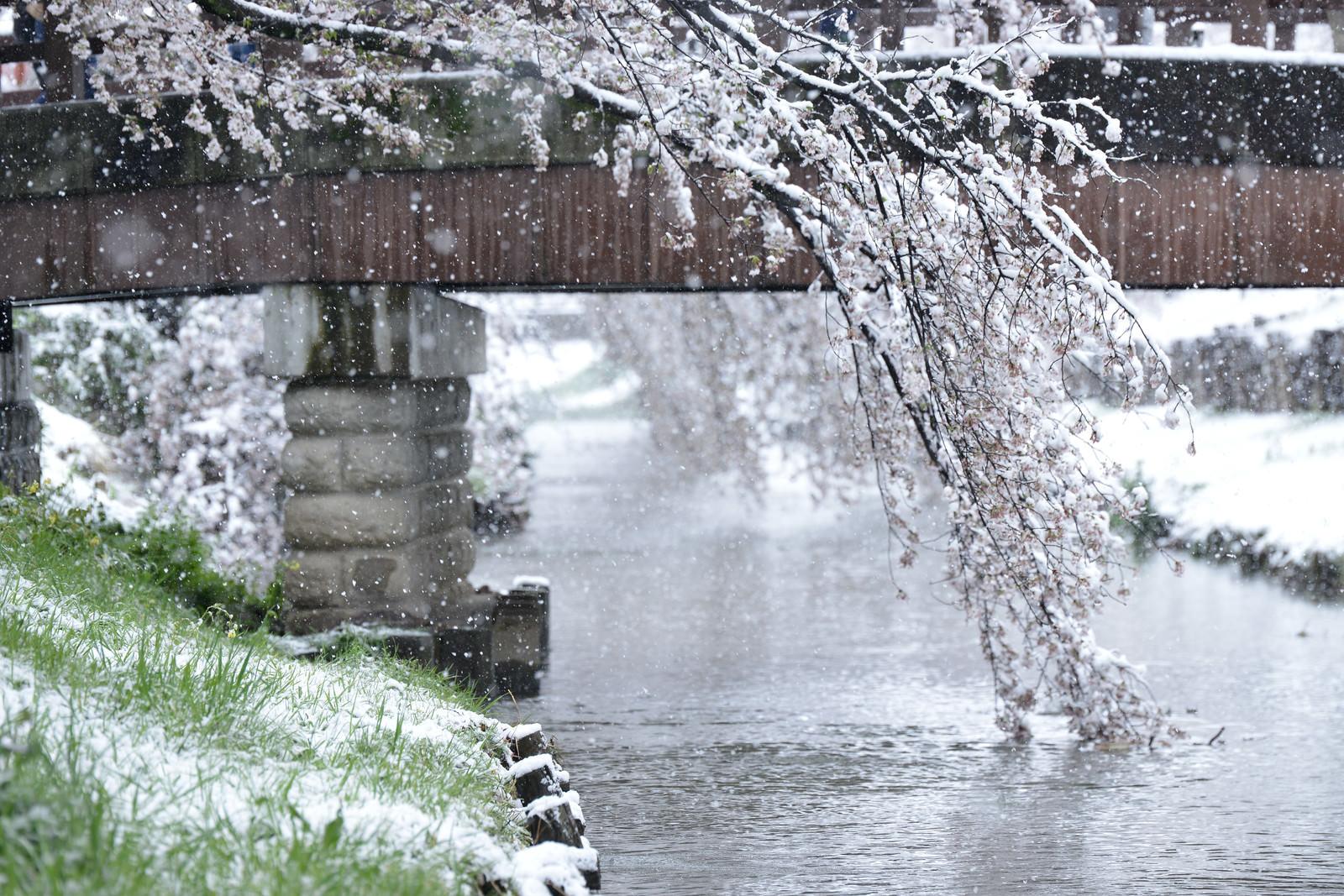 「桜と雪が舞い散る河川の様子」の写真