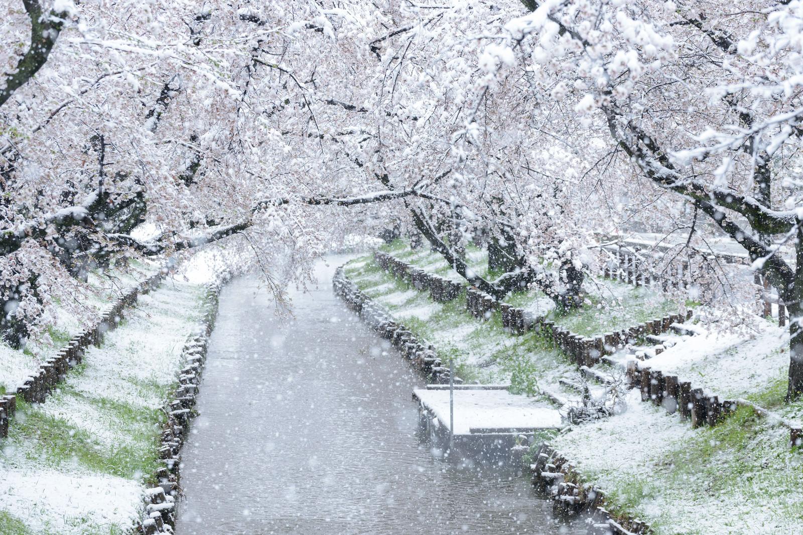 「満開の桜が降雪で白く染まる河川敷の様子」の写真