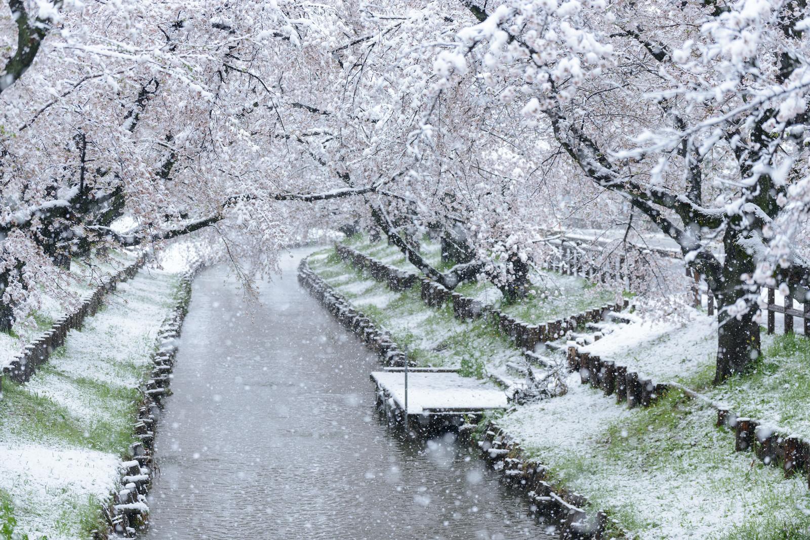 「積雪と河川敷の桜」の写真