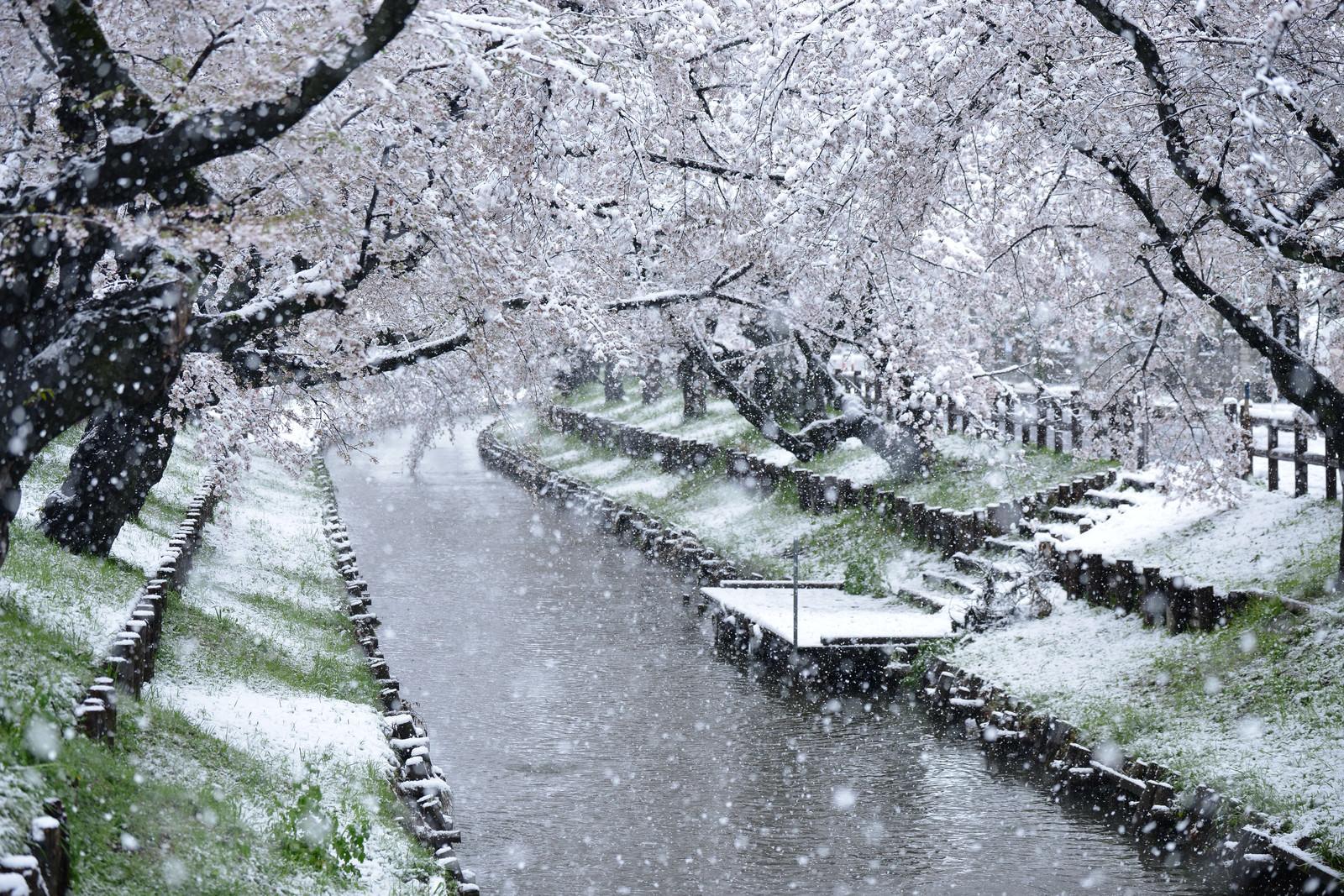「満開の桜に雪が積もる」の写真