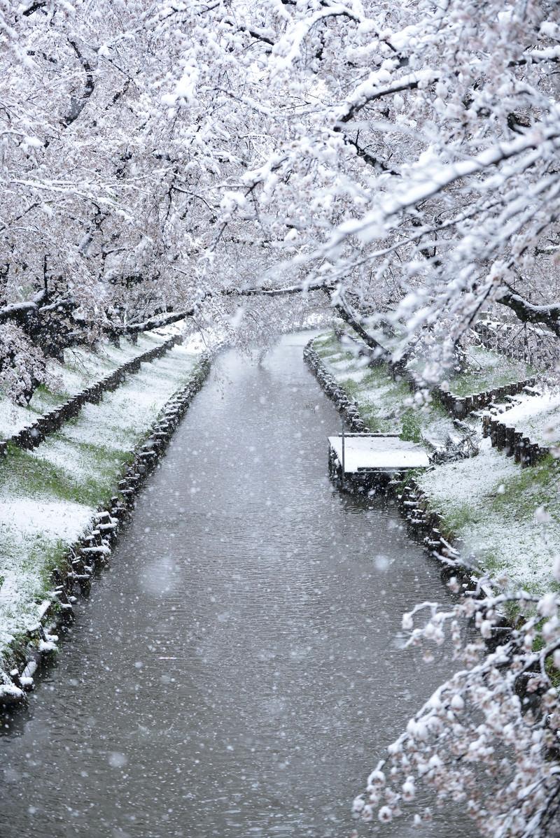 「降雪と桜と川」の写真